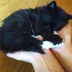 #sleeping #hands #black #white #kitten #sweetdreams #whitesocks #tired #petstagram #nofilter Black Kittens, Tired, Black White, Photo And Video, Cute, Animals, Instagram, Black And White, Animaux