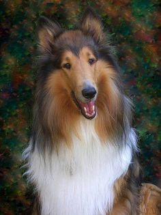 Our Rough Collie Kody