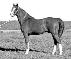 pictures of Tripoli davenport arabian - Google Search - my horses great grandfather