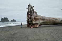 Driftwood, La Push, WA by Charles #Driftwood #BigTreeontheBeach #Red_Wood #Rialto_Beach #WA
