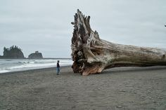 Sequoia, Redwood: Driftwood, La Push First Beach sequoia tree