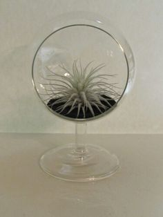 This Modular Terrarium is the perfect piece to show off this magnificent Tectorum.