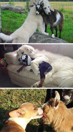 These dogs have already made friends with the cat, the kids, the neighbors, everyone who has ever passed by their house ... and now, they've found a goat.