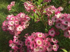 Sunnys Haus: Rose Mozart, Juli 2015