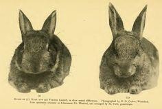 - European rabbit - Wikipedia, the free encyclopedia Rabbit Head, Watership Down, Kangaroo, Free, Animals, Baby Bjorn, Animaux, Animal, Animales