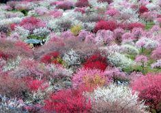 Locais em Mie para apreciar a beleza das flores de ameixeira