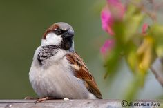 house sparrow- thankfully I don't get to many of these at my feeder.