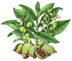 Botanical illustration of a cardamom plant with flowers and cardamom seeds.