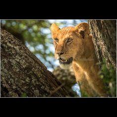 Young African Lion in a Tree  Images from my 2016 trip to Tanzania  Serengeti Ngorongoro Tarangire National Parks  http://ift.tt/1PSxMR6  https://www.youtube.com/watch?v=B9yaYrrw7kg&feature=youtu.be  https://youtu.be/zWRT3t89TI0  http://ift.tt/1PSxMR6  http://ift.tt/1GIV8Bf  http://ift.tt/1VlUBxV  http://ift.tt/1TLzkkl  http://ift.tt/1QUSTTG  #Africa #African #AfricaSafari #AfricaPhotoTour #PhotoSafari #RobsWildlife #Tanzania #SerengetiNationalPark #NgorongoroNationalPark…
