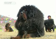 Tibetan Mastiffs - a breed originating in China's Qinghai-Tibetan Plateau - have been strutting their stuff in this year's dog contest. They...