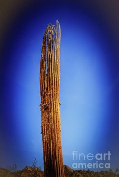 Saguaro Skelton :  http://fineartamerica.com/profiles/robert-bales/shop/all/ all/all