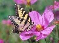 SI_Butterfly_TigerSwallowtail.jpg