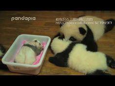 生まれたばかりの赤ちゃんパンダ Newborn panda
