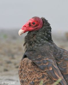 yes, turkey vultures do rock! :)