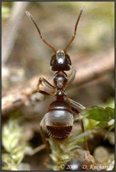 Lasius Niger.jpg