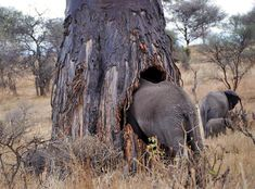 Why elephants love baobab and spekboom trees