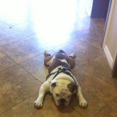 "Latte the #bulldog says ""No mas!"""