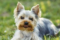 """""""After all these years he finally got home and we're just so excited we were able to help,"""" a volunteer at Saving Hope animal rescue said after the dog was reunited with its original owner. Saving Hope, Medication For Dogs, National Animal, Yorkshire Terrier Dog, Animal Control, Losing A Dog, Terrier Dogs, Mixed Breed, Little Dogs"""