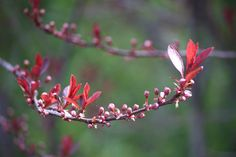 Purple Leaf Sand Cherry getting ready to do it's Spring Thing!