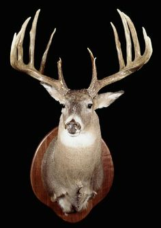 Mel Johnson's Illinois buck has stood as Pope and Young's top-scoring typical for 45 years. Will this giant ever fall from bowhunting's top spot? Big Whitetail Bucks, Whitetail Deer Hunting, Hunting Guide, Bow Hunting, Hunting Stuff, Deer Gear, Big Deer, Archery World, Moose Antlers