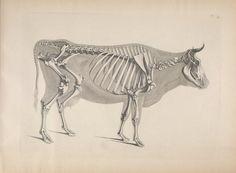 [Die vergleichende Osteologie /. Bonn :In Commission bei Eduard Weber,1821-1838.. biodiversitylibrary.org/page/40170428