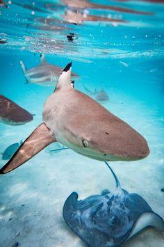 "thelovelyseas: "" Blacktip sharks and a stingray in the lagoon of moorea by Bastian Bodyl "" Shark Bait, Reef Shark, Sea Turtle Wallpaper, Great Big Sea, Shark Pictures, Shark Pics, Basking Shark, Wild Creatures, Nature"