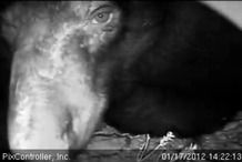 """Web cam of Jewel, the Minnesota black bear who is """"about"""" to give birth."""