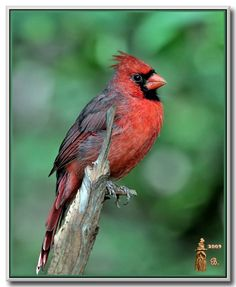 Northern Cardinal: Photo by Photographer Bill Garber - photo.net