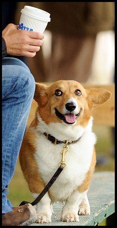 Corgi can haz coffee? | by kat-netzler/The Chronicle of the Horse. Corgi Dog, Corgi Funny, Pet Dogs, Dogs And Puppies, Cardigan Welsh Corgi, Corgi Pictures, Pembroke Welsh Corgi, Animals And Pets, Cute Animals