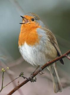 Specimen of the Month: an un-iconic icon, the robin (Erithacus rubecula) Robin Vogel, European Robin, Robin Redbreast, My Bebe, Robin Bird, Art Thou, All Birds, Bird Art, Bird Feathers