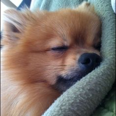 .This Pom looks just like my Tobe...bless his little heart...we miss him so much