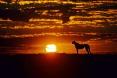A beautiful photo of the sunset and a cheetah