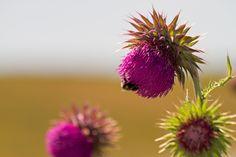 Milk Thistle on Texel. #Texel #flower #bloem #nature #hors #natuur #justinsinner #fotografie #phohography #holland #wadden #eiland  Windmill on Texel. #Texel #Windmill #Oost #wadden #justinsinner #nature #natuur #fotografie #photographer #Holland  Website: http://justinsinner.nl Webshop: http://justinsinner.werkaandemuur.nl/nl