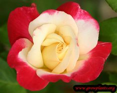 Hybrid tea rose for sale - Grow plants List Of Flowers, Different Flowers, Colorful Flowers, Exotic Flowers, Purple Flowers, White Flowers, Growing Flowers, Growing Plants, Amazing Flowers