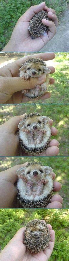 Hedgehog. So cute! LOOK AT IT'S FEEEET!!
