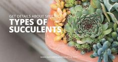 Succulent soil plays a huge role in how well your succulent grows! Find out how to make the best soil for your indoor succulents as well as what kind of succulent soil to buy! This post will help you understand what makes a great soil for succulents. Succulent Fertilizer, Succulent Seeds, Succulent Gardening, Succulent Care, Planting Succulents, Indoor Succulents, Succulent Plants, Succulent Wreath, Watering Succulents