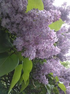 Lilac #flowers