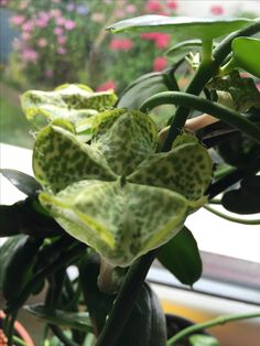 ceropegia sandersonii