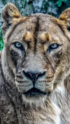 Lioness, predator, animal, 720x1280 wallpaper