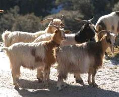The Aspromonte goat is also an indigenous breed of domestic goat raised for milk and meat production. It is likewise known as Capra dell'Aspromonte or even Aspr Breeding Goats, Farm Animals, Cute Animals, Natural Farming, Goat Farming, Abyssinian, Animal Games, Sardinia, Livestock