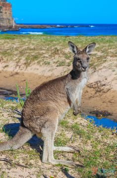 """Kangaroo on Pebbly Beach, NSW - click inside to learn about the """"Best of Australia"""" for travel."""