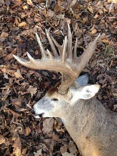 """The Kevin Clouse Buck from Missouri is one to behold. Just take a look at the """"beer can bases"""" on this buck! It is definitely one of the biggest bucks we have seen at Deer & Deer Hunting here in 2014. Kevin emailed us these photos this morning. Wow, what a deer. Congratulations, Kevin! Kevin was hunting in Missouri with Tombstone Creek Outfitters when he shot the buck last week …"""
