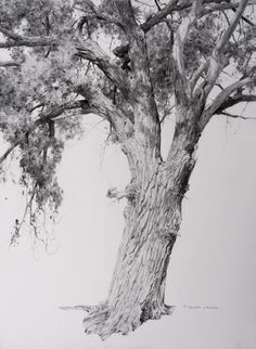 "T. Allen Lawson - ""Wyoming Cottonwood"" graphite on paper, 30 x 22 in."