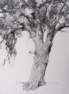 "T. Allen Lawson - ""Wyoming Cottonwood"" graphite on paper, 30 x 22 in."
