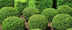 bushes shrubs plants - Google Search