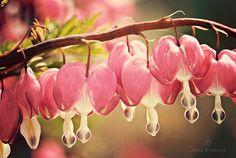 beautiful photo of bleeding heart plant (Julie Rideout, Flickr)
