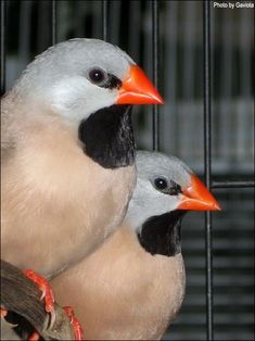 Shaf-tail Finches