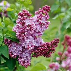 The best time to prune lilac is late spring -- immediately after they finish blooming. If you prune them later in the growing season or during winter, you'll remove flower buds and decrease the amount of spring bloom.