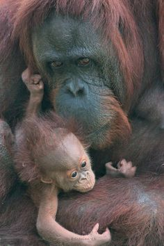 Mama and baby orangutan. #ShiningHope