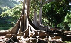 """This is in the National Botanical Forest on Kauai, and these are the trees featured in the Jurassic Park movie where they found dinosaur eggs in the roots of trees. "" (From: 30 Beautiful Photos of the Hawaiian Islands)"